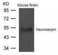 GTX50790 - Neuroserpin / SERPINI1