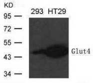 GTX50791 - GLUT4 / SLC2A4