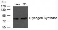 GTX50798 - Glycogen Synthase