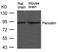 GTX50811 - Periostin