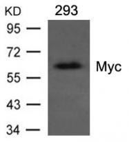GTX50834 - c-Myc