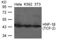 GTX50838 - HNF1 beta / TCF2