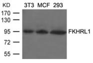 GTX50856 - FOXO3 / FKHRL1
