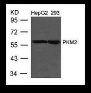 GTX50857 - PKM2