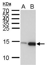 GTX50898 - Histone H3.1
