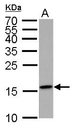 GTX50899 - Histone H3.1