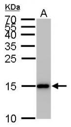 GTX50902 - Histone H3.1