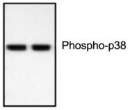 GTX59567 - MAP kinase p38 alpha / MAPK14