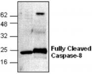 GTX59607 - Caspase-8 / FLICE