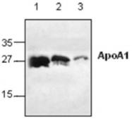 GTX59668 - Apolipoprotein A I (APO AI)
