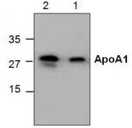 GTX59669 - Apolipoprotein A I (APO AI)