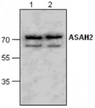 GTX59675 - Neutral ceramidase / ASAH2