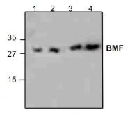 GTX59683 - BMF