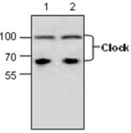 GTX59715 - CLOCK