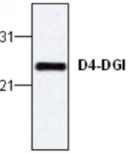 GTX59719 - ARHGDIB / D4-GDI