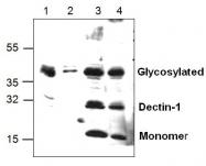 GTX59720 - CLEC7A / Dectin-1