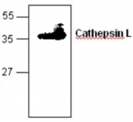 GTX59728 - Cathepsin L1