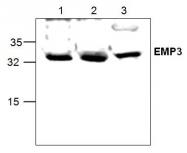 GTX59729 - EMP3 / YMP