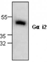 GTX59733 - G protein alpha Inhibitor 2