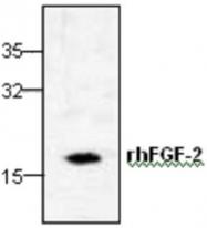 GTX59736 - FGF basic / FGF2