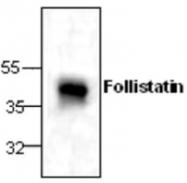 GTX59740 - Follistatin