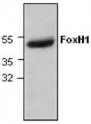 GTX59741 - FOXH1 / FAST1