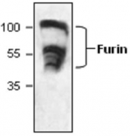 GTX59742 - Furin
