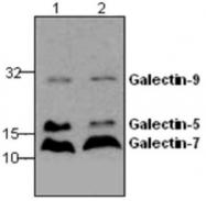 GTX59744 - Galectin-9