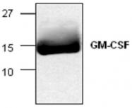 GTX59749 - GM-CSF