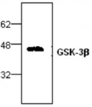 GTX59752 - GSK3 beta