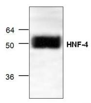 GTX59756 - HNF4 alpha / TCF14