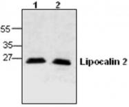 GTX59781 - Lipocalin-2