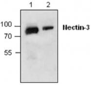 GTX59801 - CD113 / Nectin 3