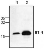 GTX59802 - Neurotrophin 4 / NTF4