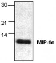 GTX59845 - MIP1 alpha / CCL3