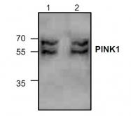GTX59847 - PINK1