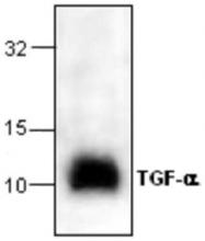 GTX59851 - TGF-alpha (TGFA)
