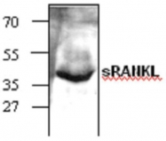 GTX59855 - CD254 / RANKL