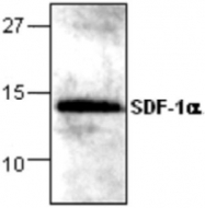 GTX59856 - CXCL12 / SDF1