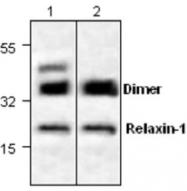 GTX59858 - Relaxin 1 / RLN1