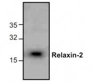 GTX59859 - Relaxin 2 / RLN2