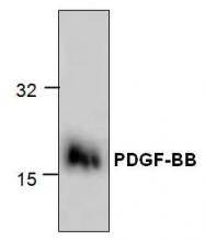 GTX59863 - PDGFB