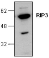 GTX59865 - RIPK3 / RIP3
