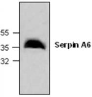 GTX59871 - SERPINA6 / CBG