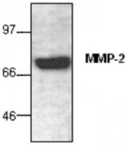 GTX59880 - MMP-2