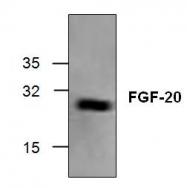 GTX59882 - FGF20