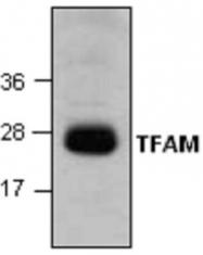 GTX59889 - TFAM / TCF6