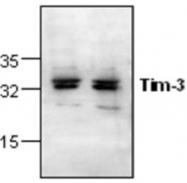 GTX59896 - TIMD3 / HAVCR2
