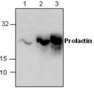 GTX59897 - Prolactin / PRL