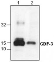 GTX59902 - GDF3